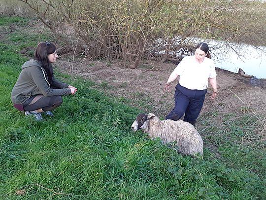 Sheep rescue!