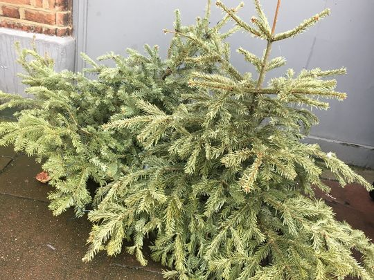 Collecting a couple of Christmas trees